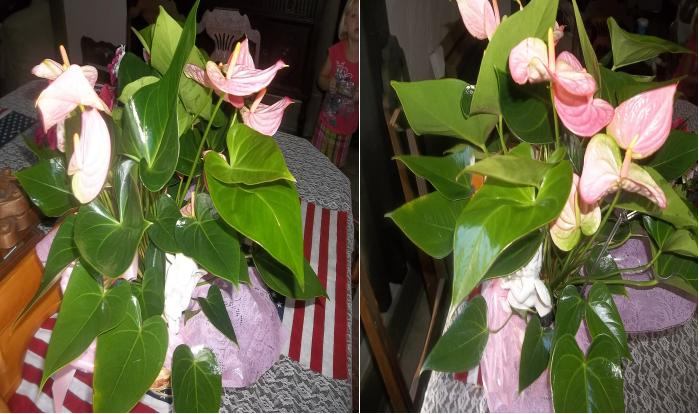 Anthurim - Flamingo Flower