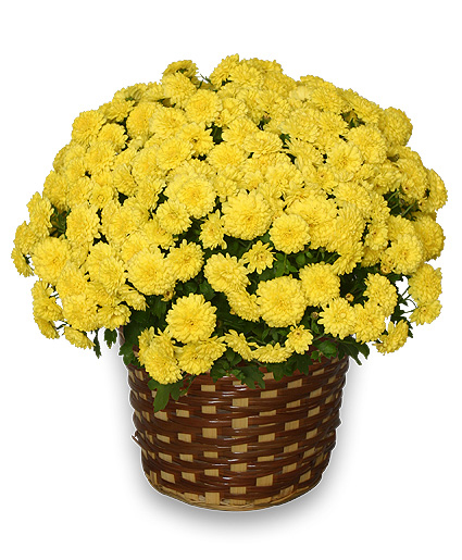 Chrysanthemum Blooming Plant