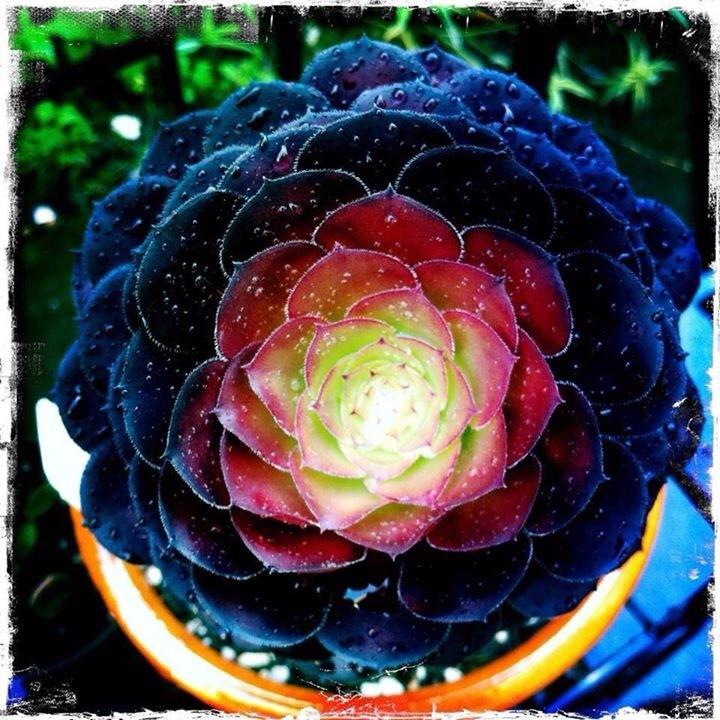 Sempervivium 'Lilac Time'