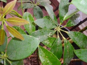 Schefflera with Sticky Substance