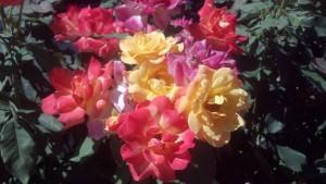 Lovell-flowers