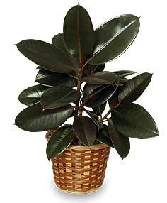 Rubber Plant Basket