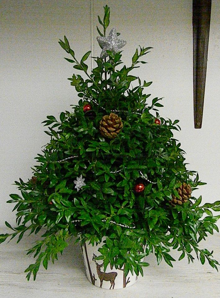 A boxwood tree from Cole's Flowers in Middlebury, VT