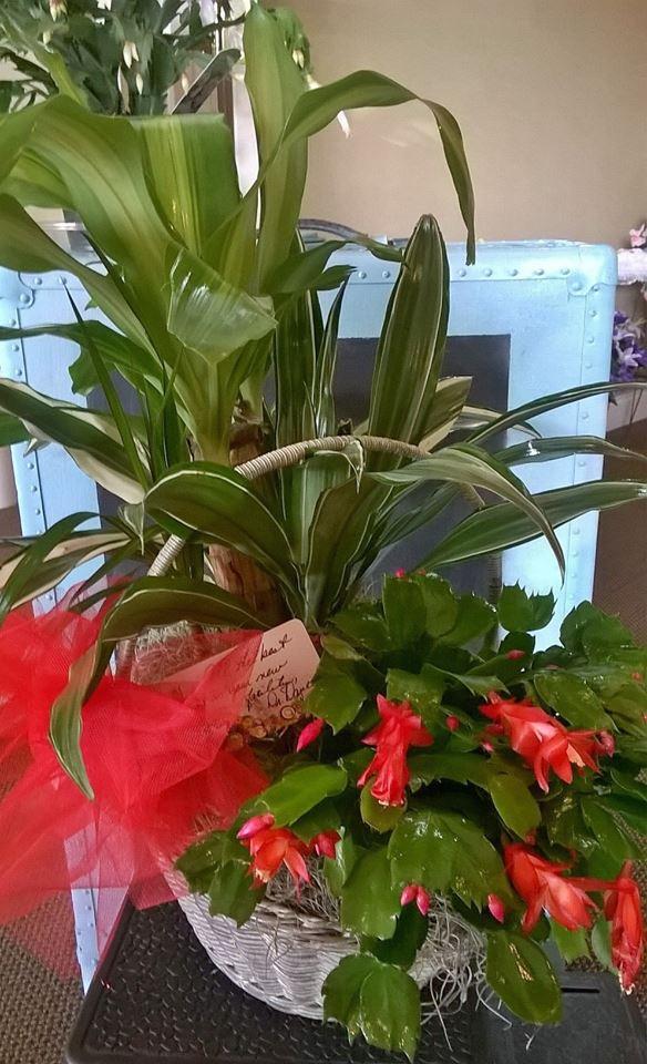 Beautiful living plant from Wilma's Flowers in Jasper, AL
