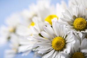 Daisy flower, springtime bright vivid theme