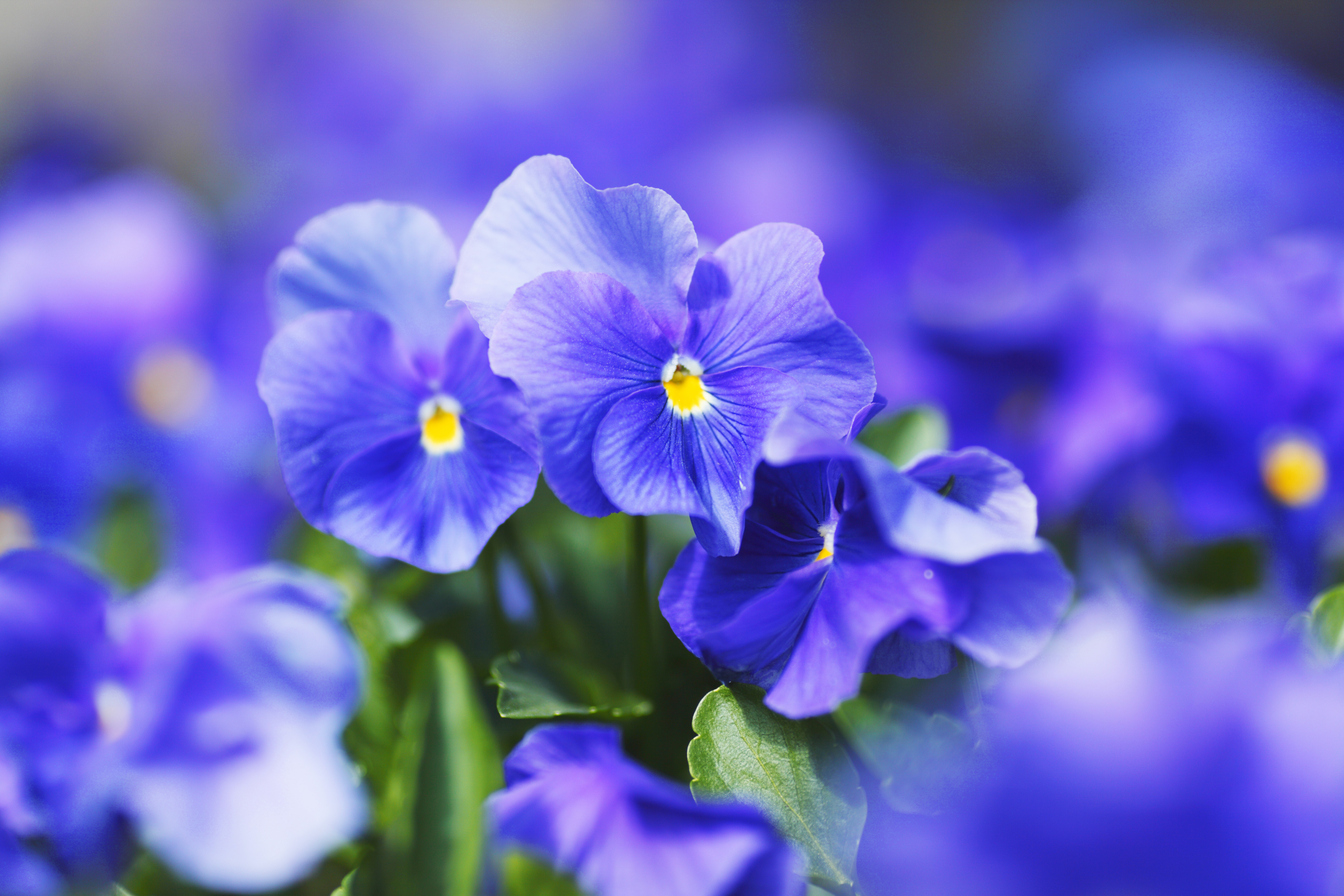 What does your flower sign say about you imaginative selfless and intuitive are three words to describe pisces people born under this sign are also very artistic which is why the beautiful violet izmirmasajfo