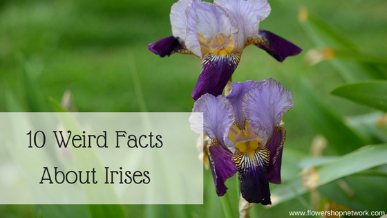 weird facts about irises, Beautiful flower