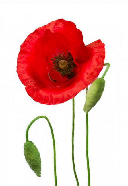 Flower spotlight poppy facts mightylinksfo