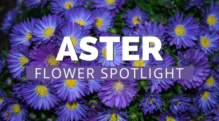 Bloomin blog everything you want to know about flowers for those of you who didnt know aster is the flower of september the blooms in the aster genus are daisy like and have grown continuously since ancient mightylinksfo