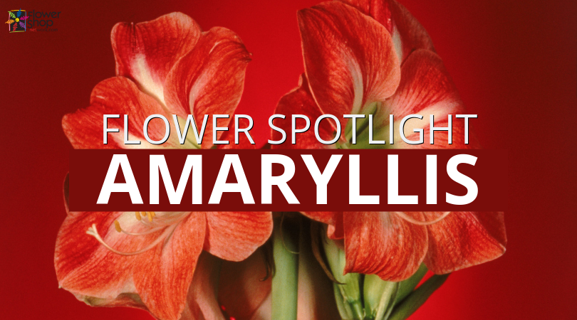 Amaryllis Flower Spotlight