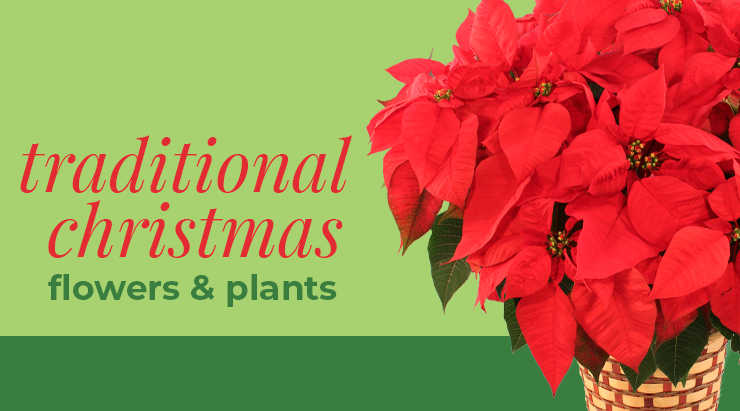 Traditional Christmas Flowers And Plants