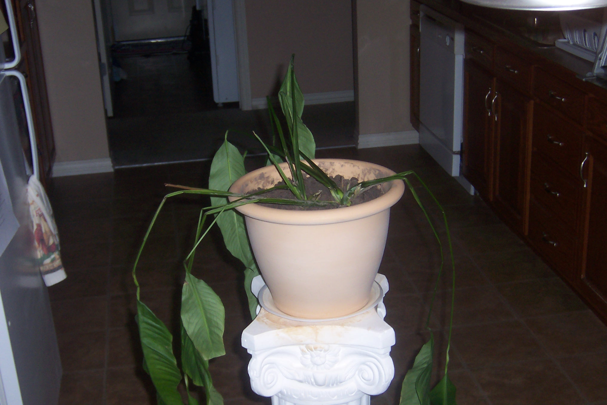 Peace lily drooping whats up why did the roots come up through the soil in the old pot the roots were scaly and hard thanks for the help i really want to save this poor plant izmirmasajfo