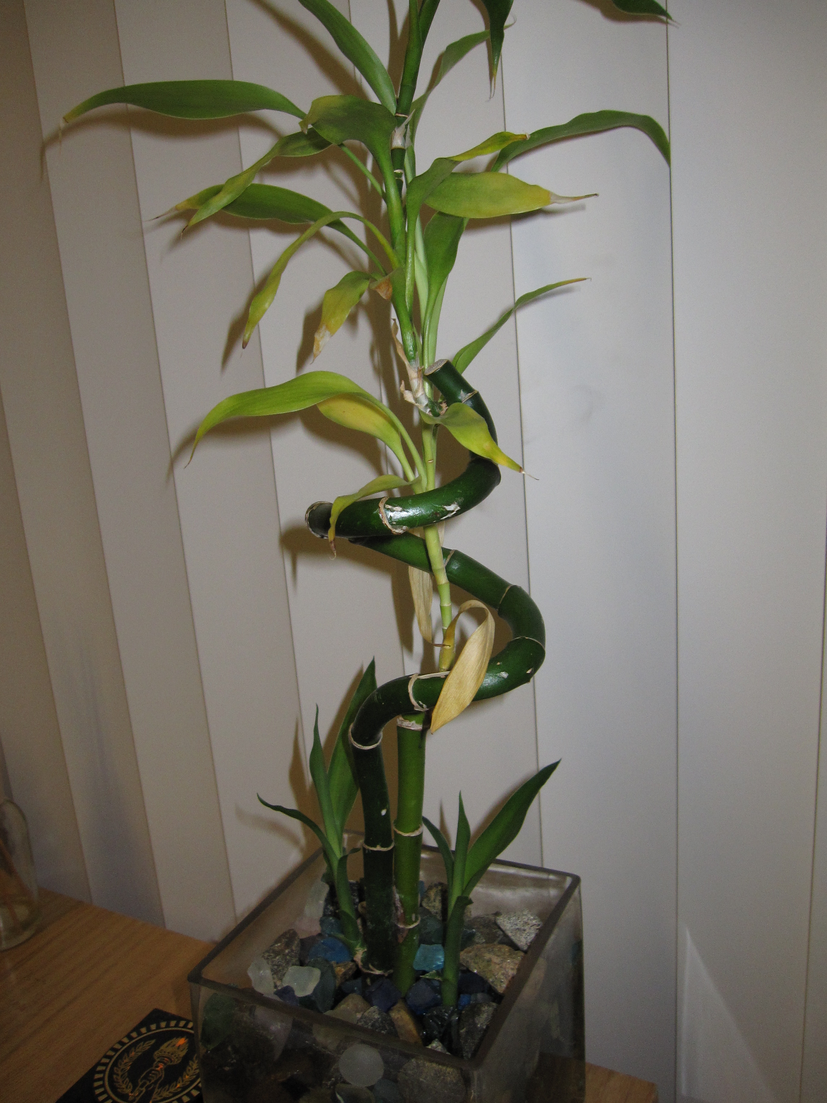 Indoor Bamboo Plant Care Yellow Leaves Lucky Bamboo Care