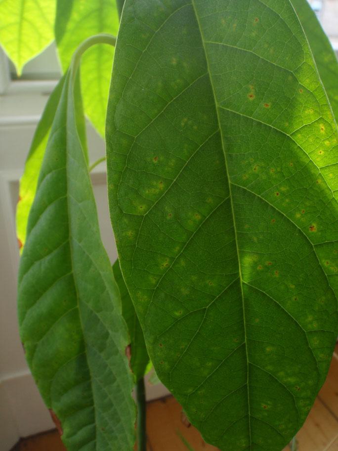 Avocado Leaves Turning Brown
