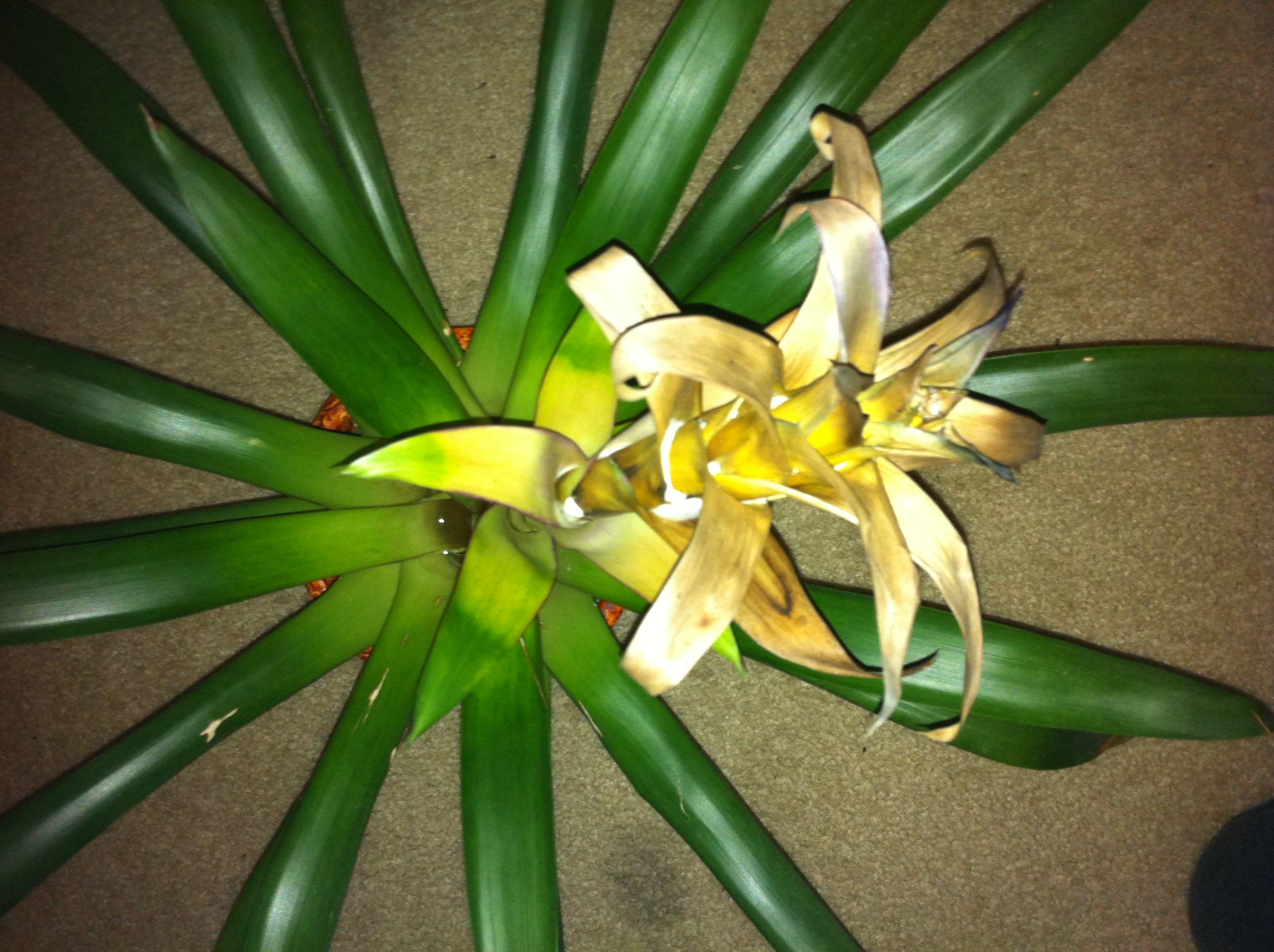 how to take care of bromeliad flower