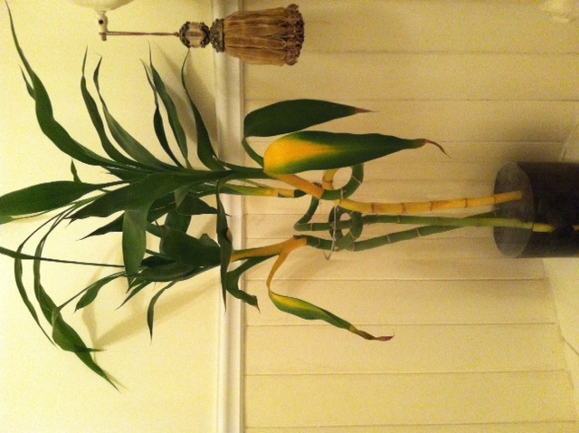 why would lucky bamboo suddenly turning yellow. Black Bedroom Furniture Sets. Home Design Ideas