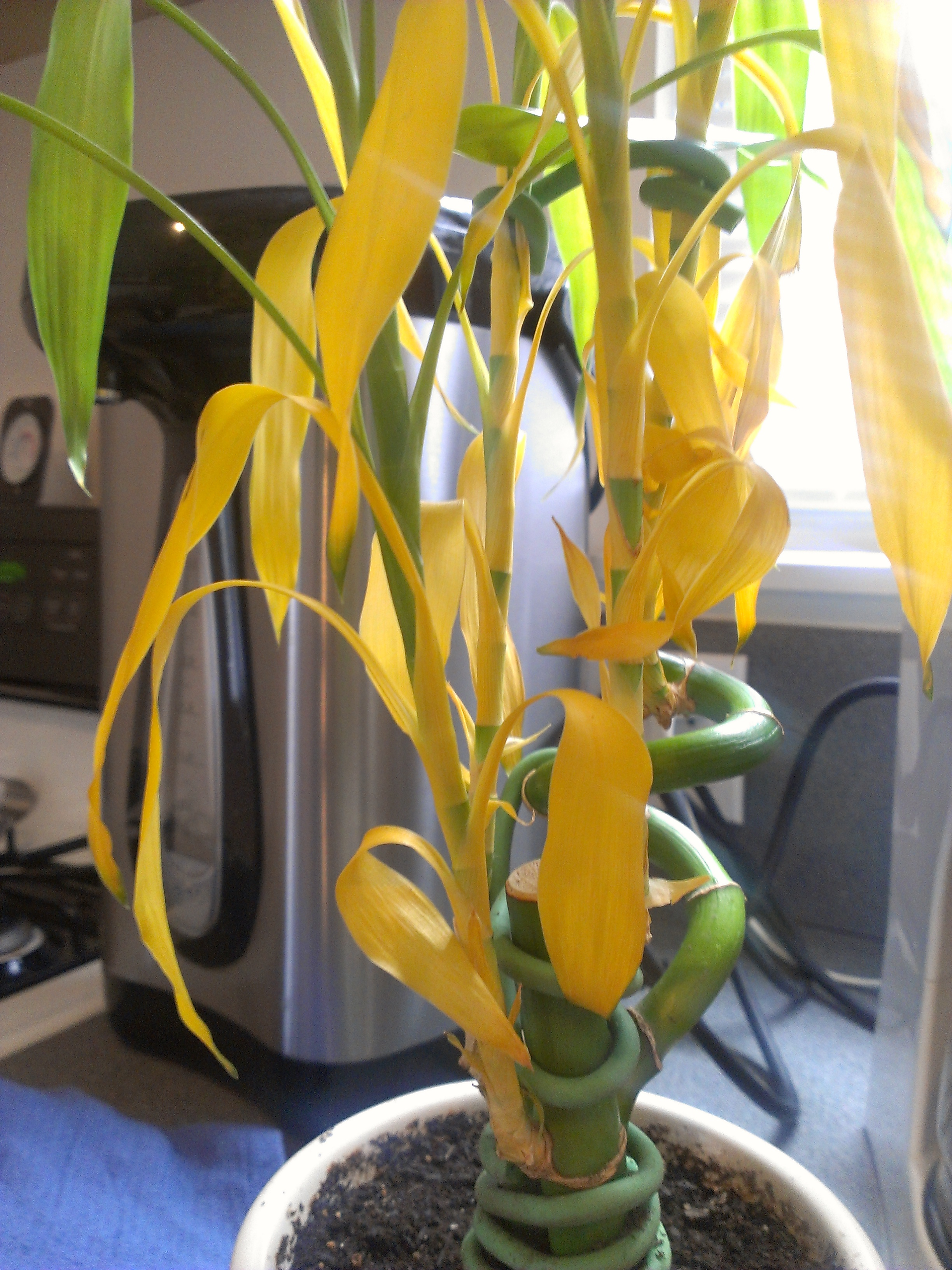 Why Is Lucky Bamboo Turning Yellow