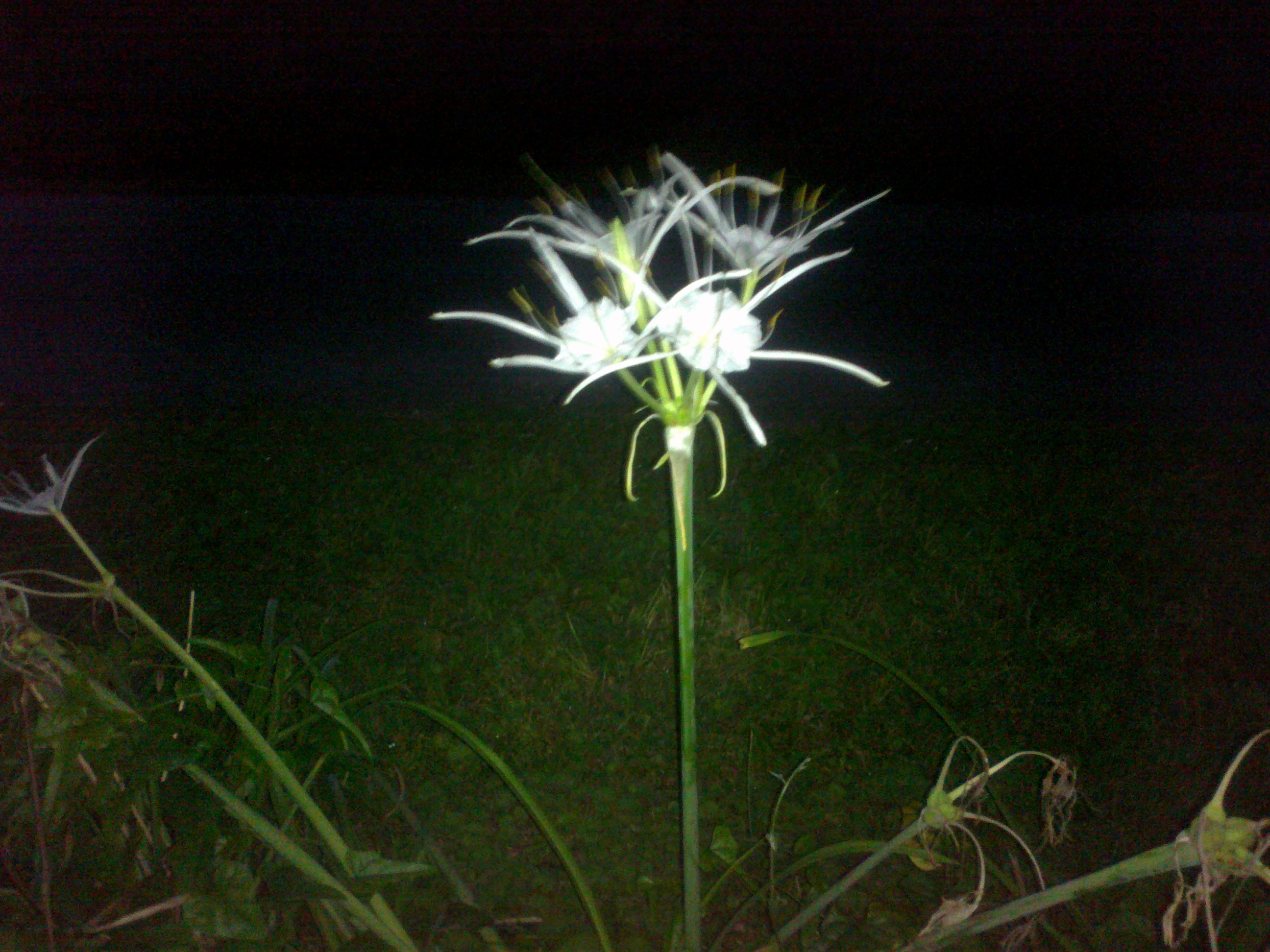 White flowers is spider lily hymenocallis lirisome attached image spider lilyg izmirmasajfo Image collections