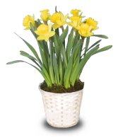 Potted Daffodils - March 2005 FSN Newsletter