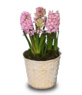Daffodils hyacinths freesias and tulips in bloom march newsletter flower shop network - Planting hyacinths pots ...