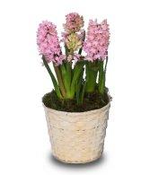 Potted Hyacinth - March 2005 FSN Newsletter