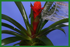 Dracaenas and Bromeliads: Striking Houseplants for Interior Spaces